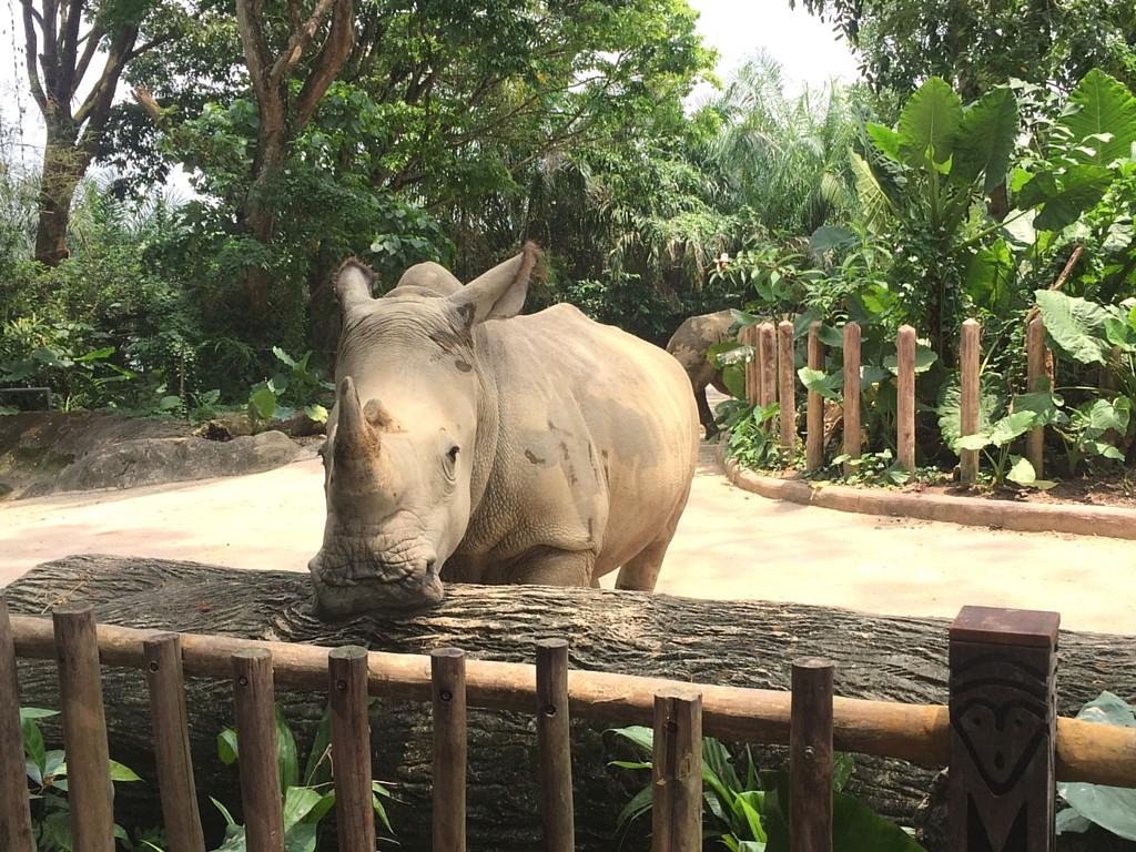 Nashorn Singapur Zoo