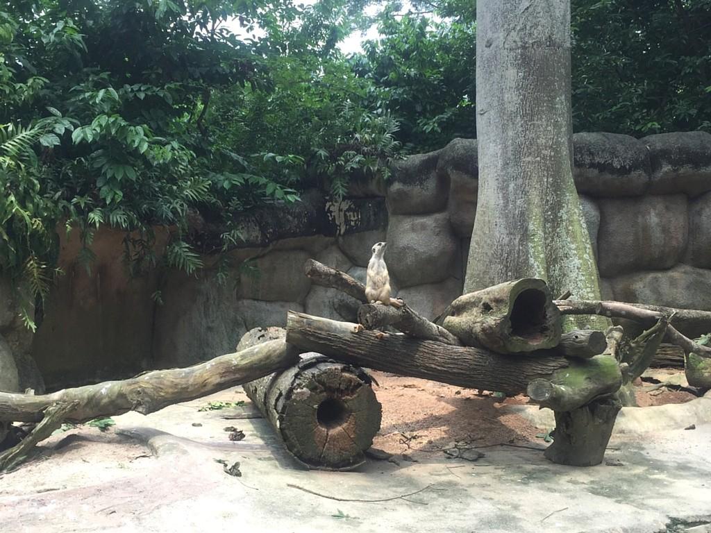 Erdmännchen Singapur Zoo